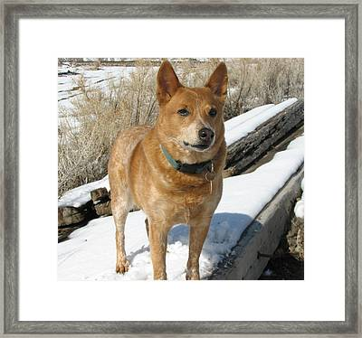 loyal Rusty - Red Heeler Framed Print