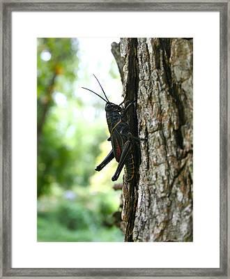 Lubber Grasshopper Framed Print