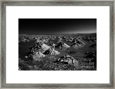 Lugworm Arenicola Marina Casts On Mudflats In Strangford Lough County Down Northern Ireland Framed Print by Joe Fox