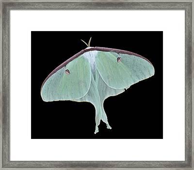 Luna Moth Framed Print by Paul Ward