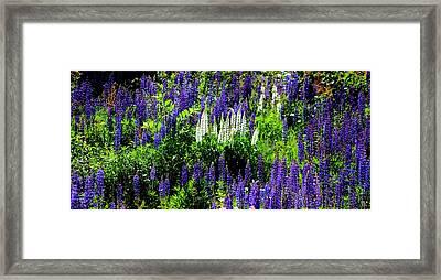 Lupin Flield Framed Print by Meeli Sonn