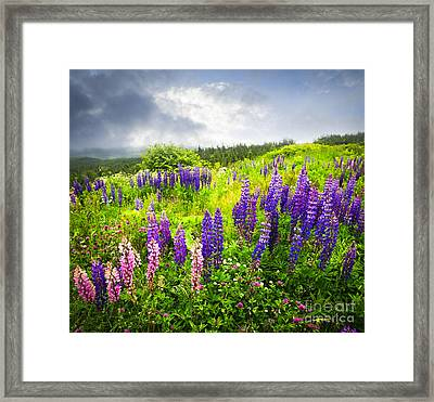 Lupin Flowers In Newfoundland Framed Print
