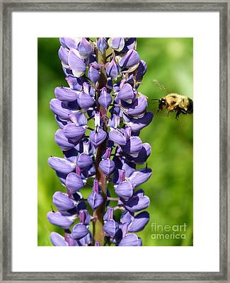 Lupine And Bee Framed Print by Christine Stack
