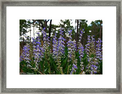 Lupine Patch Framed Print by Barbara Bowen