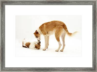 Lurcher And Jack Russell Terrier Framed Print