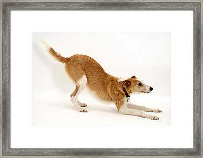 Lurcher Bowing Framed Print