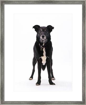 Lurcher With Cataracts Framed Print