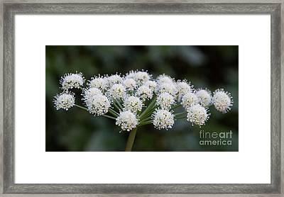 Framed Print featuring the photograph Lyall's Angelica by Katie LaSalle-Lowery