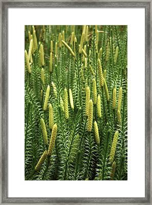 Lycopodium Annotinum Annotinum Framed Print