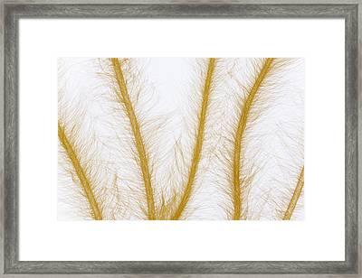 Lyngbye Algae Framed Print by Ingo Arndt
