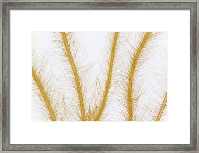 Lyngbye Chorda Tomentosa Algae Four Framed Print by Ingo Arndt