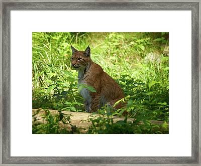 Lynx Framed Print