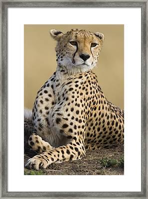 Maasai Mara Cheetah  Framed Print by Suzi Eszterhas