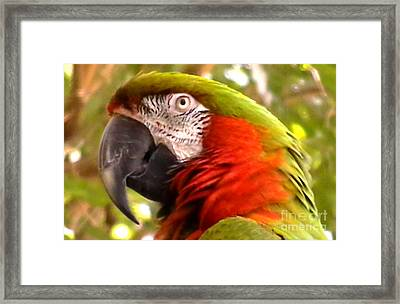 Macaw Alert Framed Print by John From CNY