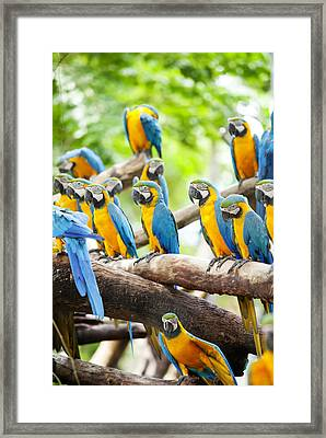 Macaw Framed Print by Anek Suwannaphoom