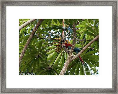 Framed Print featuring the photograph Macaw At Ease by John Burns