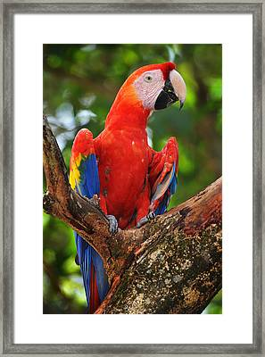 Macaw Of Copan Framed Print by Paul Bratescu