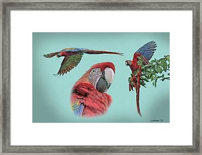 Macaw Sketch Framed Print