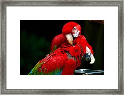 Macaws Framed Print by Paul Ge