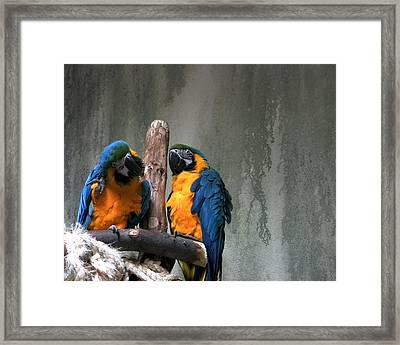 Maccaw Parrots Framed Print by Kim French