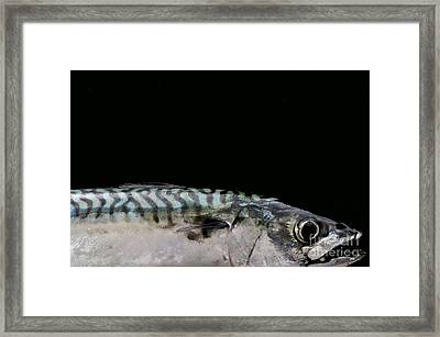 Mackeral Framed Print by Marion Galt