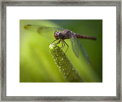 Macro Of A Dragonfly - Focus Stacked Image Framed Print