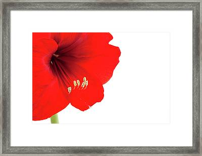 Macro Of Red Amaryllis With Copy Space Framed Print by Ursula Alter