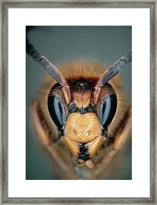 Macrophoto Of Head Of Hornet Vespa Crabro Framed Print