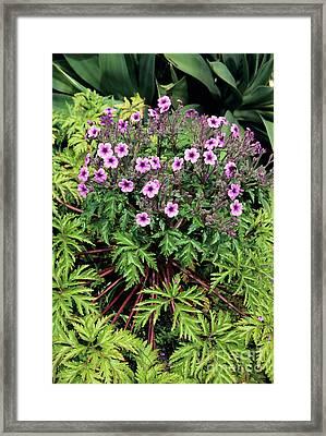 Madeiran Cranesbill Framed Print by Adrian Thomas