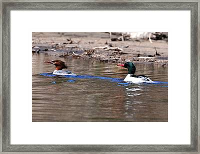 Maganser Mating Season Framed Print