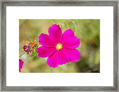 Magenta In Bloom Framed Print