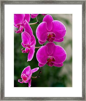 Magenta Orchid Medley Framed Print by Anna Rumiantseva