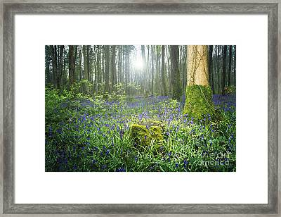 Magical Bluebell Forest In Kildare Ireland Framed Print by Catherine MacBride