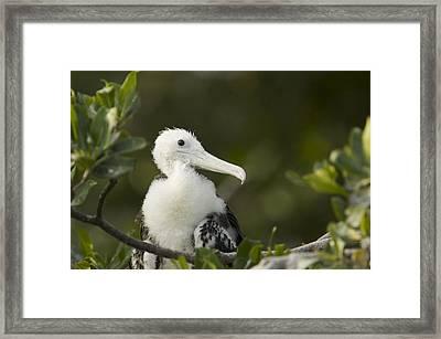 Magnificent Frigatebrid Chick Perched Framed Print by Tim Laman