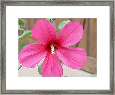 Framed Print featuring the photograph Magnificent Hibiscus by Elizabeth  Sullivan