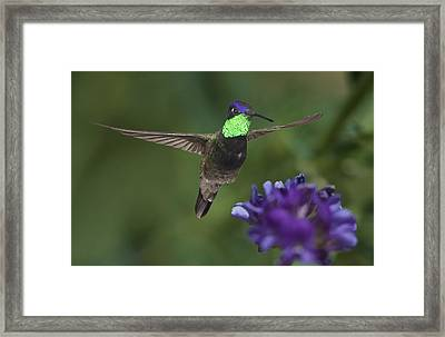 Magnificent Hummingbird Framed Print