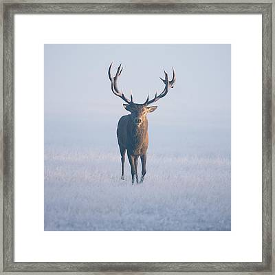 Magnificent Stag Framed Print