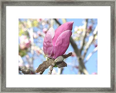 Magnolia Bud Framed Print by Susan Alvaro