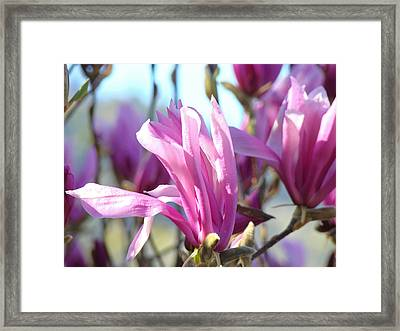 Magnolia Flowers Art Prints Pink Magnolia Tree Blossoms Framed Print by Baslee Troutman