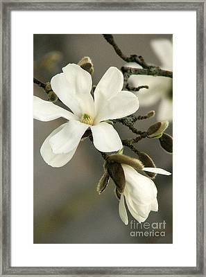 Magnolia Framed Print by Frank Townsley