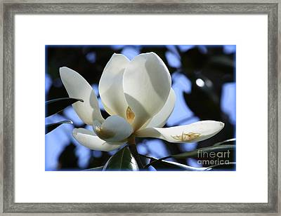 Magnolia In Blue Framed Print by Carol Groenen