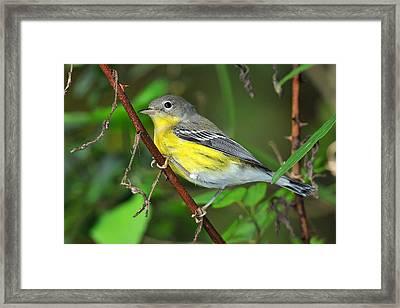 Magnolia Warbler Fall Framed Print