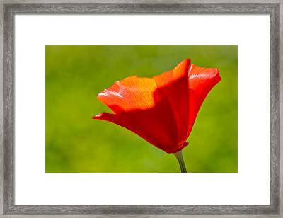 Mahogany California Poppy IIi Framed Print by Heidi Smith