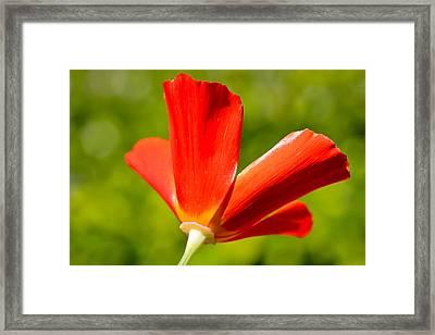 Mahogany California Poppy Iv Framed Print by Heidi Smith