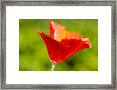 Mahogany California Poppy V Framed Print by Heidi Smith