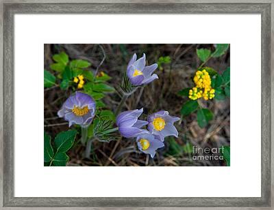 Mahonia And Pasqueflowers Framed Print