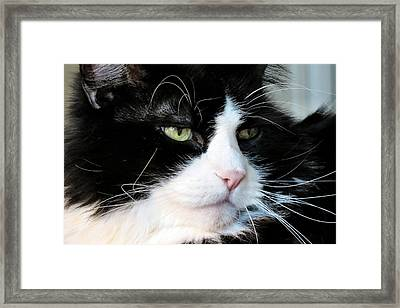 Maine Coon Face Framed Print