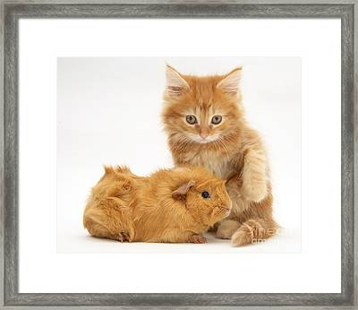 Maine Coon Kitten And Guinea Pig Framed Print by Jane Burton