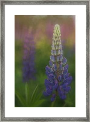 Maine Lupine Framed Print by Kathleen Clemons