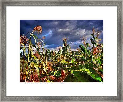 Maiz Framed Print by Skip Hunt